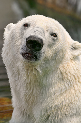 Polar Bear photo by Tambako the Jaguar