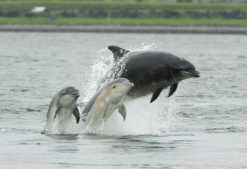 An adult female bottlenose dolphin with her young