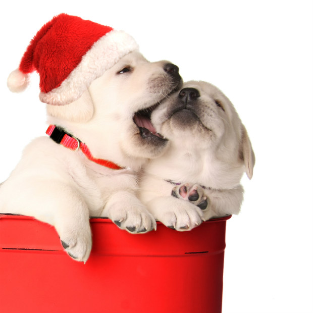 Santa Puppies - Photo by Barbara Helgason Photography