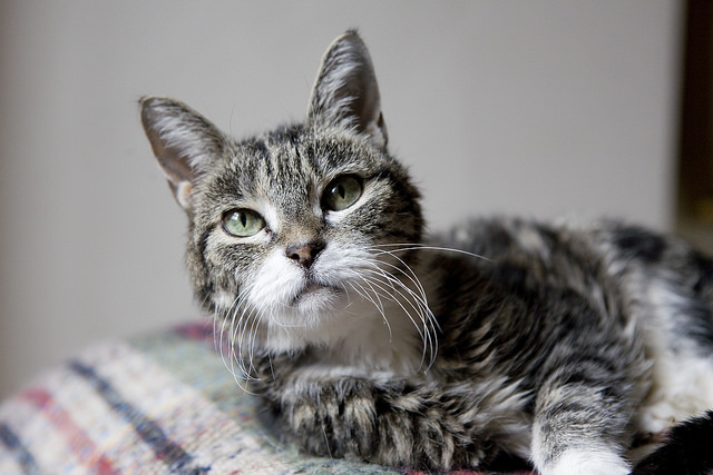 cute tabby and white old cat