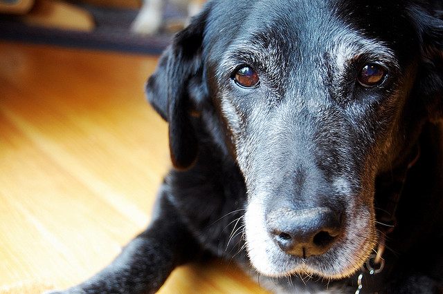 Old grey/black Labrador