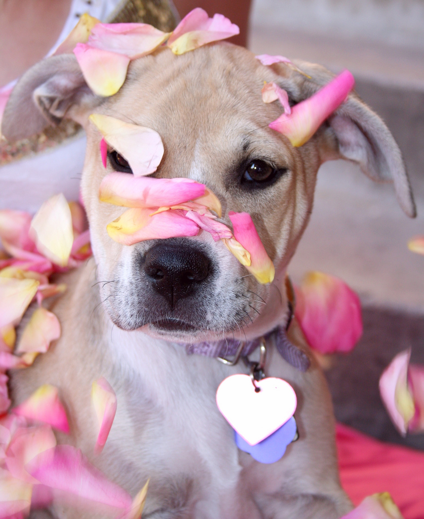 Cute Valentine's Puppy With Pink Rose Petals