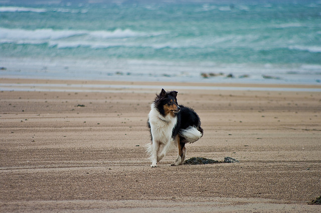 """Lucy on the Beach"" - dog playing on the beach on Ireland"