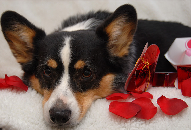 Valentine's Tri Colour Corgi