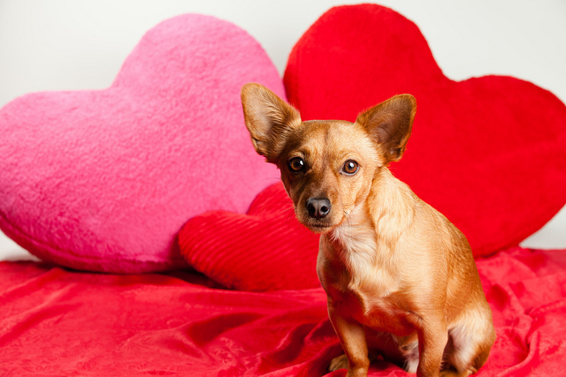 Mixed Breed Valentines Dog
